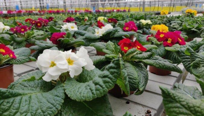 ФОТО. В теплицы садоводческой школы в Булдури уже пришла весна