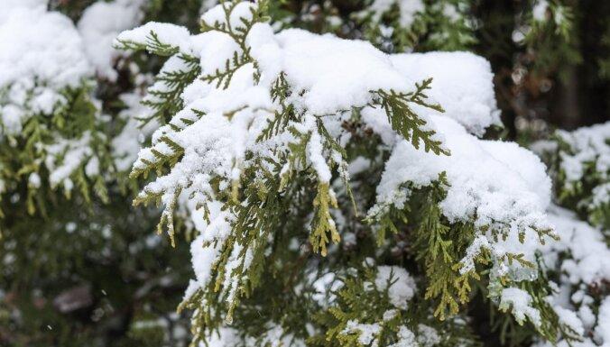 No skujeņiem smagā sniega kārta obligāti jāpurina nost, atgādina dārzkopji