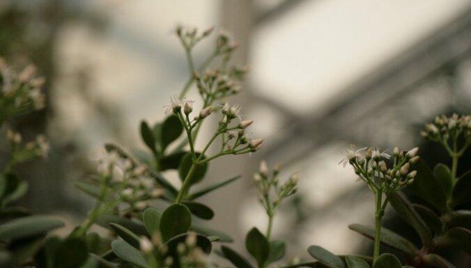 """ФОТО. В Ботаническом саду ЛУ расцвело """"денежное дерево"""""""