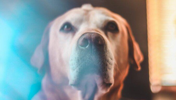 Vai suņi spēj saost ne tikai narkotikas, bet arī Covid-19? Pētnieki lūko to noskaidrot