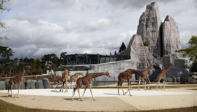 Infografika: Izmirstošo žirafu izplatība pasaulē