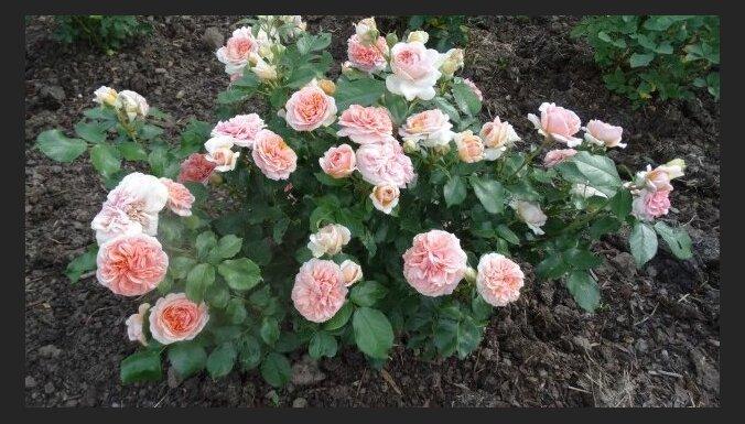 Рекомендуют производители: Топ-5 самых выносливых и проверенных сортов роз