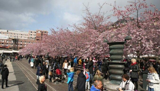 Foto: Rozā ķiršu ziedi pārvērš salto Stokholmu līdz nepazīšanai