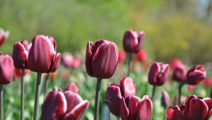 ФОТО. Море тюльпанов в Национальном ботаническом саду в Саласпилсе