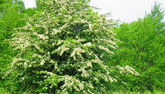 Par 2021. gada koku izvēlēta divirbuļu vilkābele