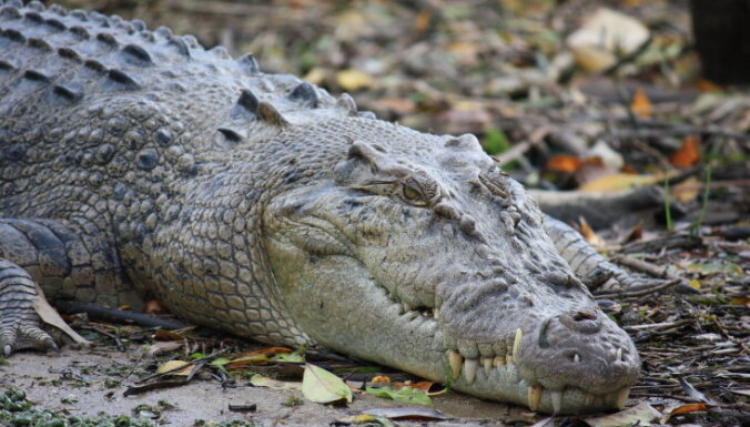 Vai krokodili var raudāt?