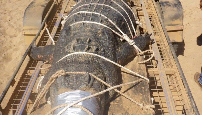 В Австралии пойман гигантcкий крокодил, за которым охотились 8 лет