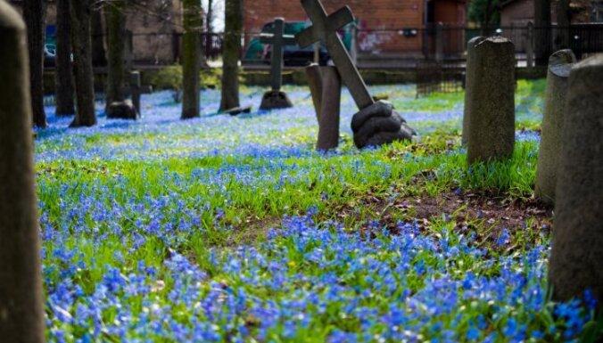 Foto: Zilā ziedu sega Pārdaugavas vecākajā dvēseļu dārzā