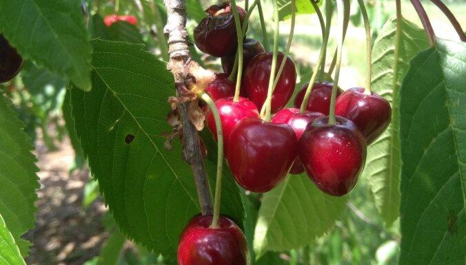 Dārza darbu kalendārs: augļu, dārzeņu un ogu dārzs jūlijā