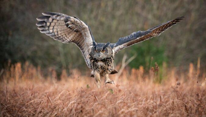 Rūpējoties par ūpju aizsardzību, Latvijas mežos uzstādīs 37 ligzdošanas platformas