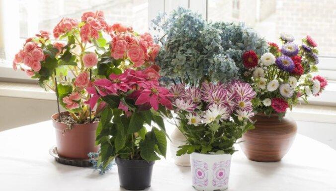 Četri ilgi ziedoši istabas augi ziemas sezonai