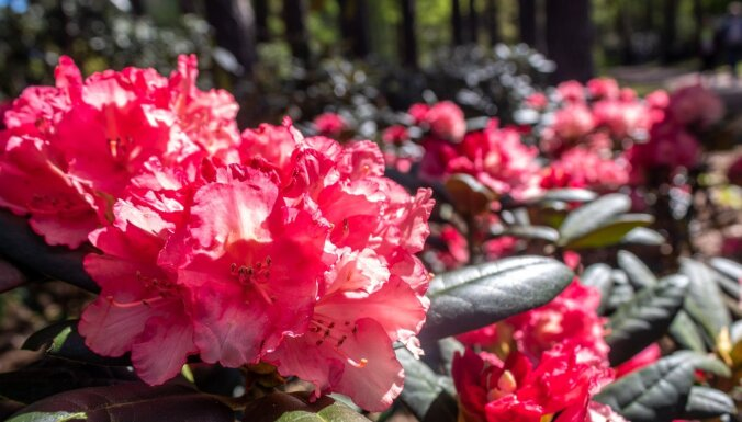 Foto: Kā kupenas – Babītē krāšņi zied rododendri
