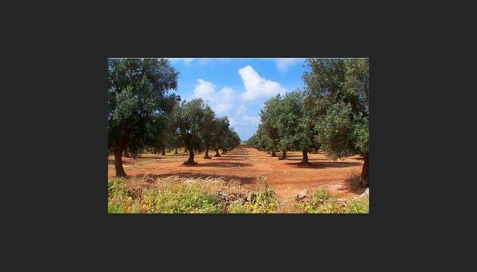 Olīvu dārzs Itālijā. Foto: Enzo Cositore