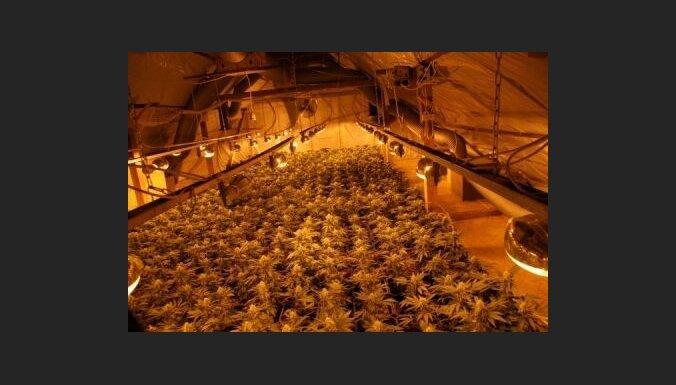 Likvidē lielāko marihuānas audzētavu