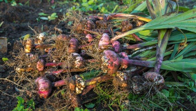 Kad novākt un kā pareizi uzglabāt gladiolu sīpolus?