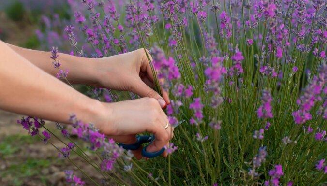 Aromātiskās lavandas: ieteikumi audzēšanā, lai tās krāšņi ziedētu