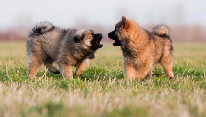 Dzīvespriecīgais eirāzietis – suns, par ko rūpēties vēlēsies katrs