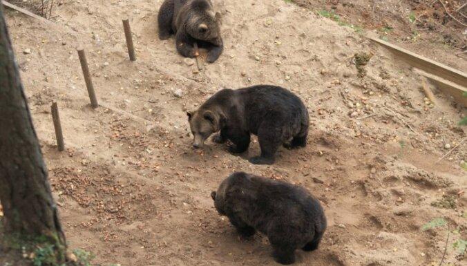 Предлагают перевезти лигатненских медведей в Беларусь; вертолет вылетает утром
