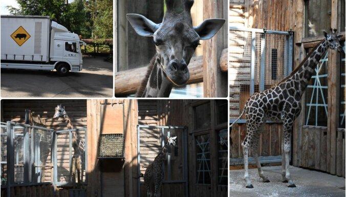 Rīgas zoodārzā ieradusies jauna žirafe no Austrijas