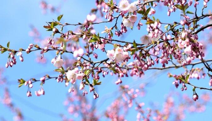 Foto: Uzvaras parkā Rīgā uzziedējušas sakuras