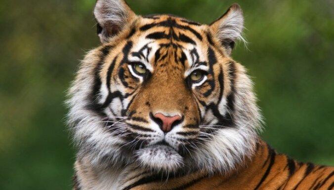ВИДЕО: Поющий тигренок прославился в соцсетях