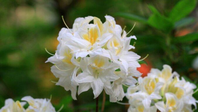 Foto: Audzētavā 'Babīte' radītas sešas jaunas rododendru šķirnes