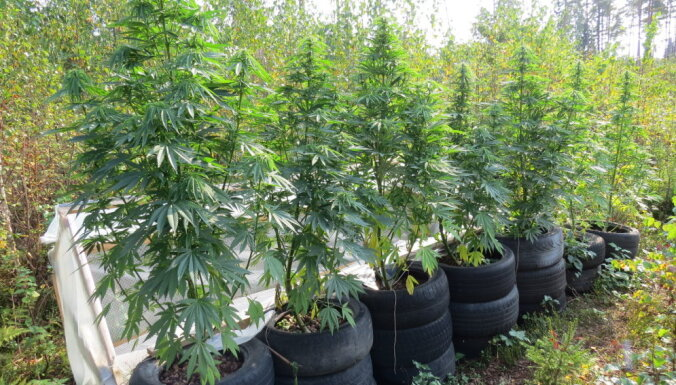 """В Латгалии полиция за неделю """"накрыла"""" две плантации марихуаны"""