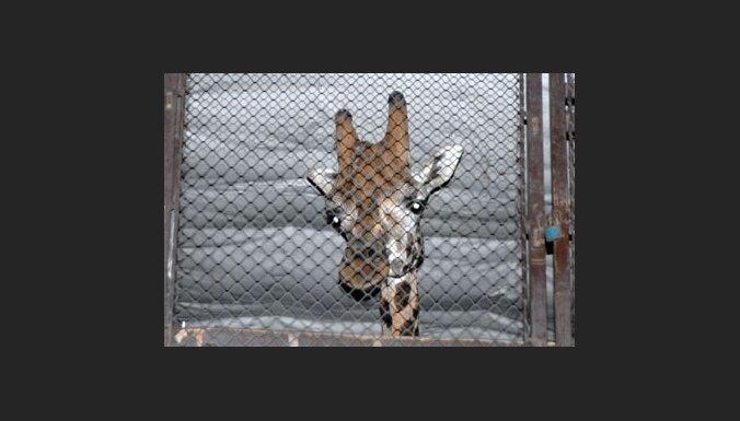 В Ригу приехал жираф Пик