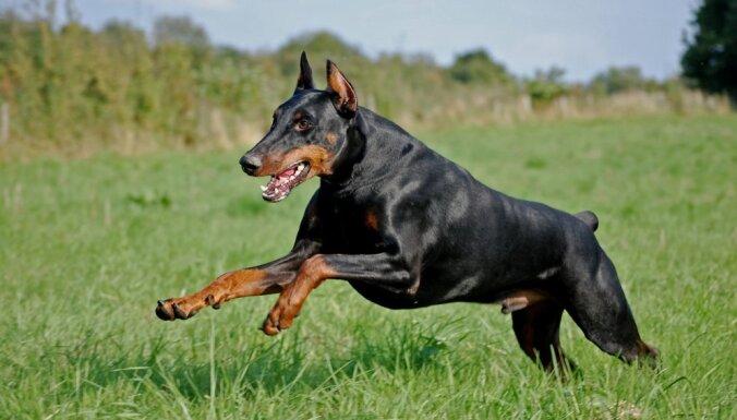 Desmit gudrākās suņu šķirnes