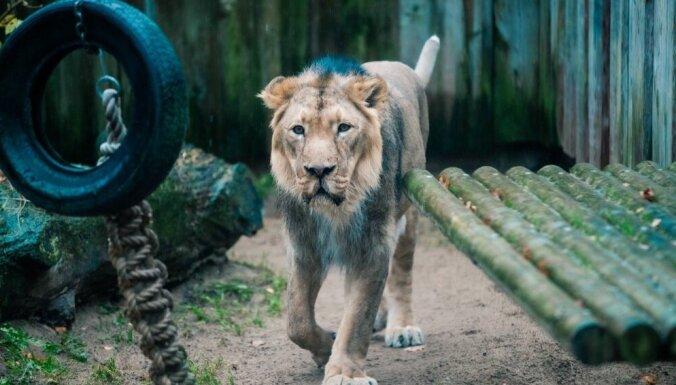 У скончавшегося в Таллиннском зоопарке льва обнаружен коронавирус