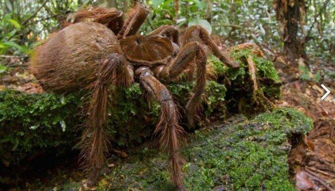 Amerikā atrod zirnekli prāva kucēna lielumā