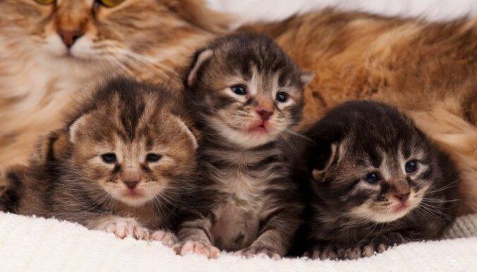 Mīlīgi foto: Kā izskatās dažādu šķirņu kaķēni