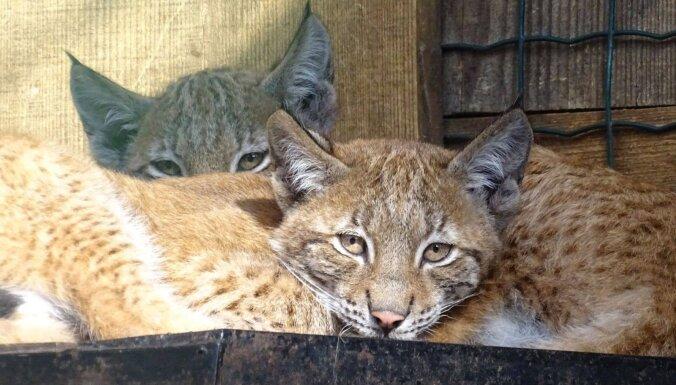 Lūsija, Jakobīne un Jete - tā sauks Rīgas Zoo dzimušās lūšu meitenes