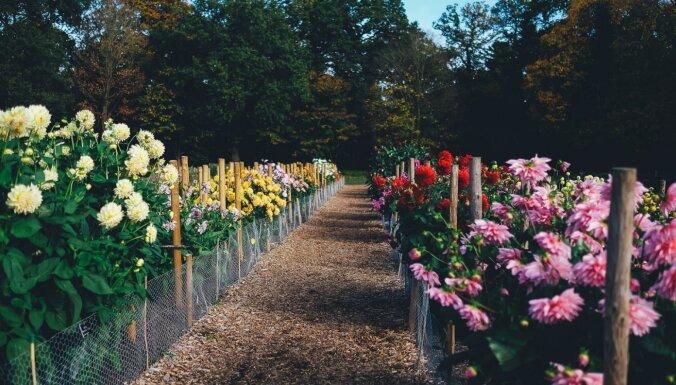 Lai lielie ziedi nelūztu: ieteikumi dāliju balstiem