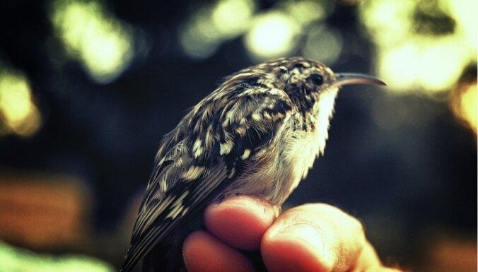 Latvijā šogad novērotas divas jaunas putnu sugas - stepes piekūns un īspirkstu mizložņa