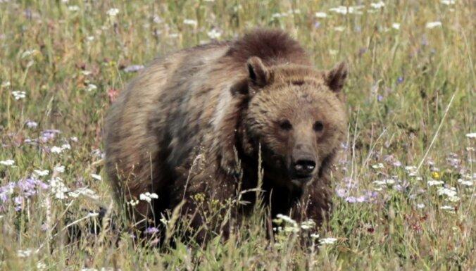 Гнавшиеся на поезде за медведем железнодорожники уволены