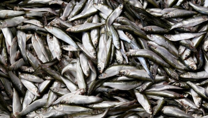 Латвия сможет увеличить вылов салаки в Рижском заливе