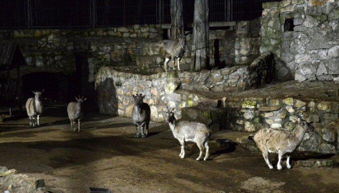 ФОТО. В Рижском зоопарке вновь пройдут Зимние ночи