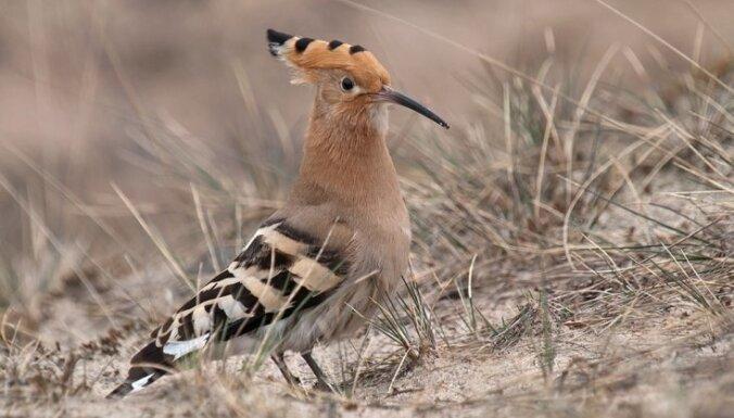 Латвийские орнитологи определились: птица 2014 года— удод