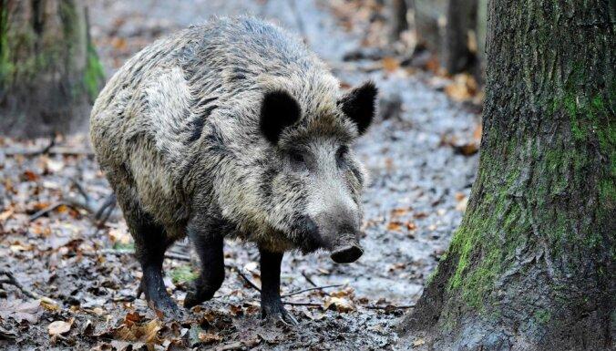 Чума свиней в Латвии дошла уже до Лайдской волости
