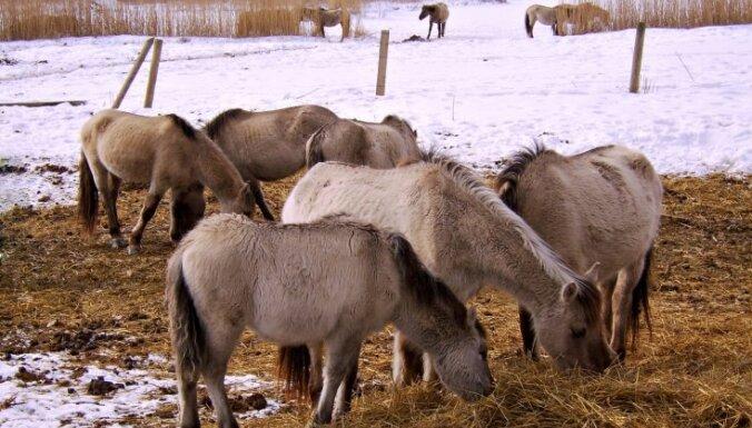 40 savvaļas zirgiem Jelgavas Pilssalā trūkst barības