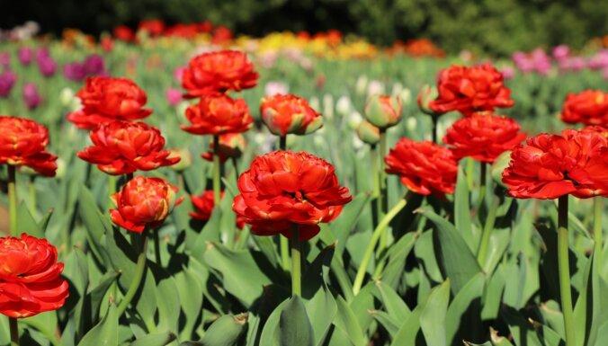 Foto: Nacionālajā botāniskajā dārzā zied tulpju upes