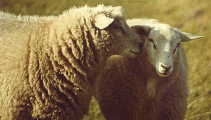 В Россию не впустили двух овец и барана из Латвии