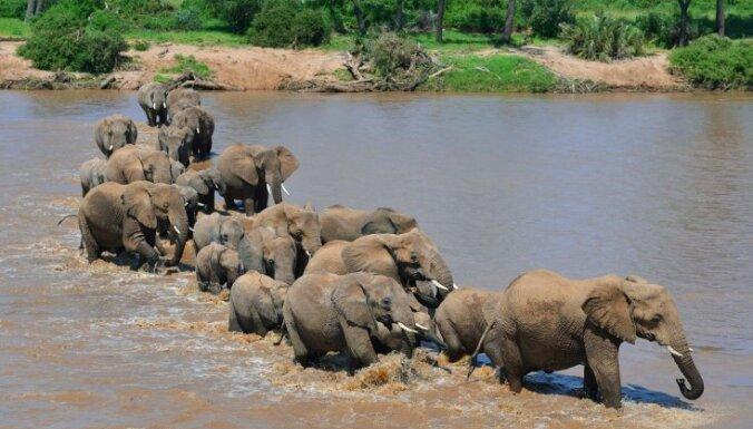 ANO: ar Lībijas kara ieročiem Āfrikā nogalina ziloņus