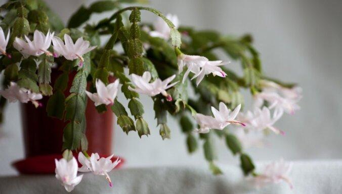 Яркие цветы вместо иголок - рождественский кактус и уход за ним