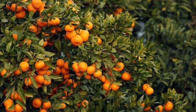 Foto: Saules pielietie augļi zaros – kā izaug sulīgie mandarīni?