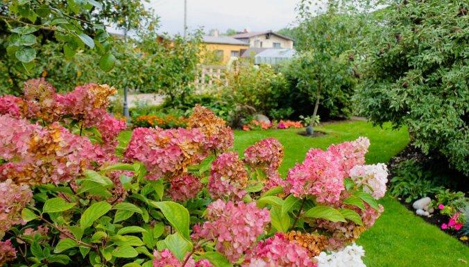 Seši jautājumi un atbildes par hortenziju kopšanu rudenī