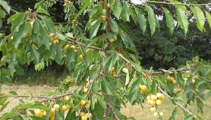 Ķirši un aprikozes jūnijā – kam pievērst uzmanību