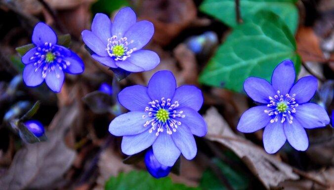 Голубая печеночница: нежный цветок со странным именем