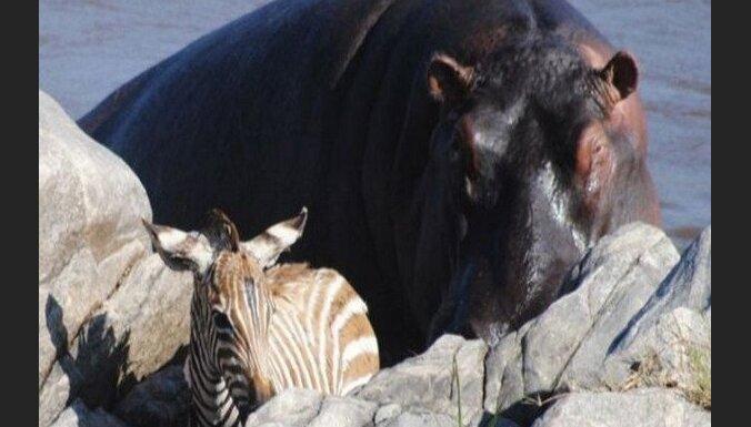 Izpalīdzīgais nīlzirgs kopā ar zebras mazuli